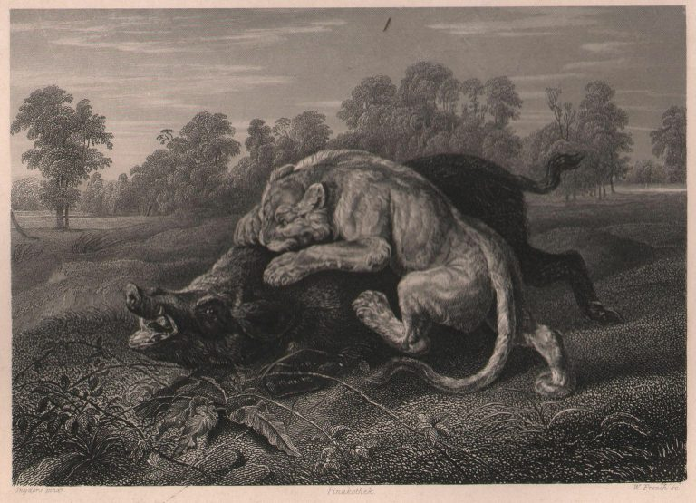ca-1860-Original-Steel-engraving-Lioness-And-Boar-Animal-Wildlife-Hunting-Nature-182181555131